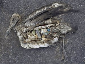 dead seabird with lots of plastic in the rotting carcass