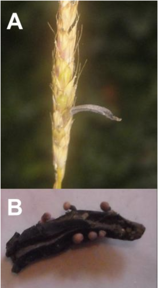 Figure 2A) A wild grass bearing a Claviceps purpurea sclerotia. 2B) A C. purpurea sclerotia (ergot) sprouting mushrooms in the spring.