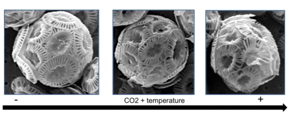 Figure 2. Phytoplankton morphology as acidification and warming increases in a cultured experiment. Credit: UAB