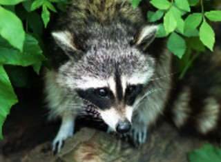 Rabies and Roundworm: Raccoon-Associated Infectious Diseases