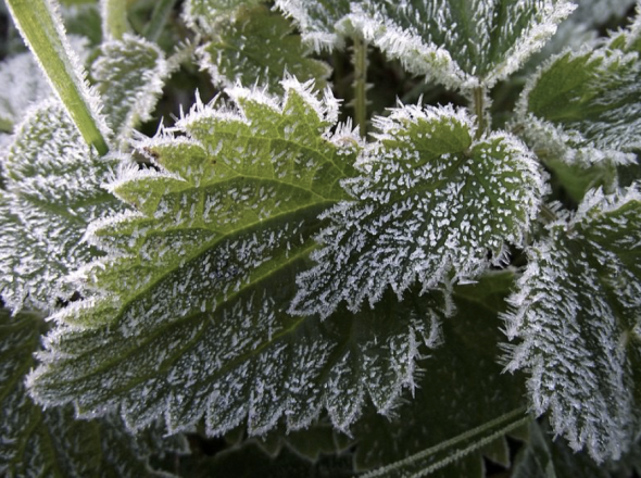 Figure 1. Pseudomonas syringae is responsible for frost on plants