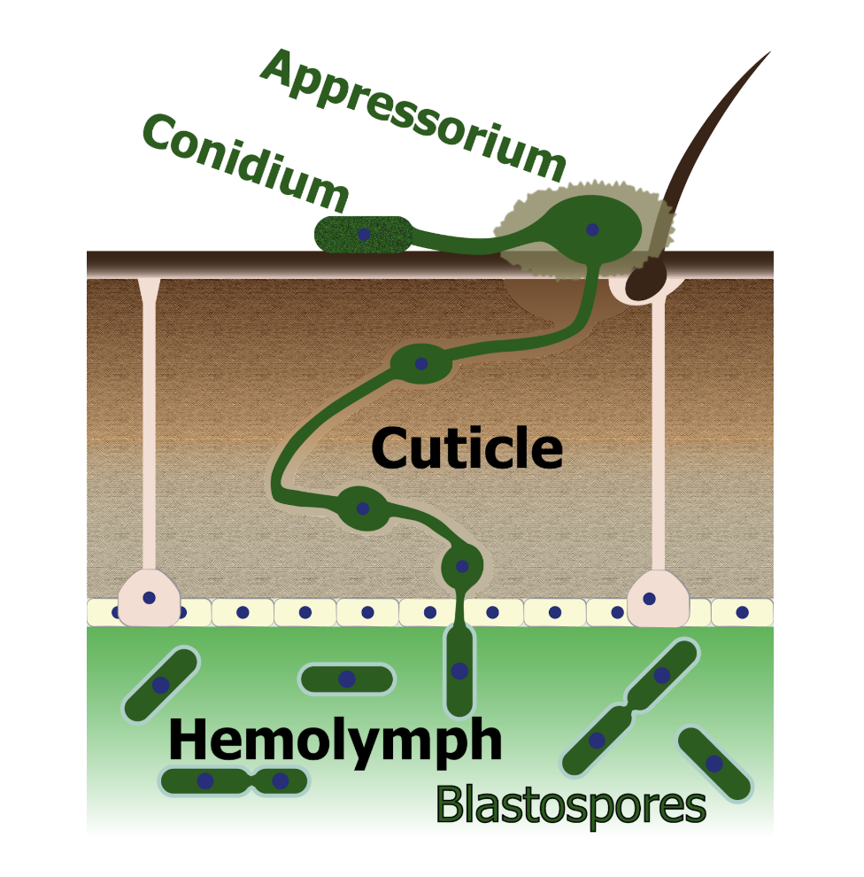 A generalized infection diagram for Metarhizium species fungi. First, a spore (also called a conidium) lands on the outside of an insect, then the fungus produces a sticky holdfast structure called an appressorium. Appresoria produce pressure and secrete enzymes to allow the fungus to penetrate through the chitin-protein matrix of the insect cuticle. When the fungus reaches the insect blood (hemolymph) it buds off producing yeast-like structures called blastospores. These blastospores proliferate through the insect blood covered in a collagen-like protein coat to avoid the insect immune system. Modified from original source.