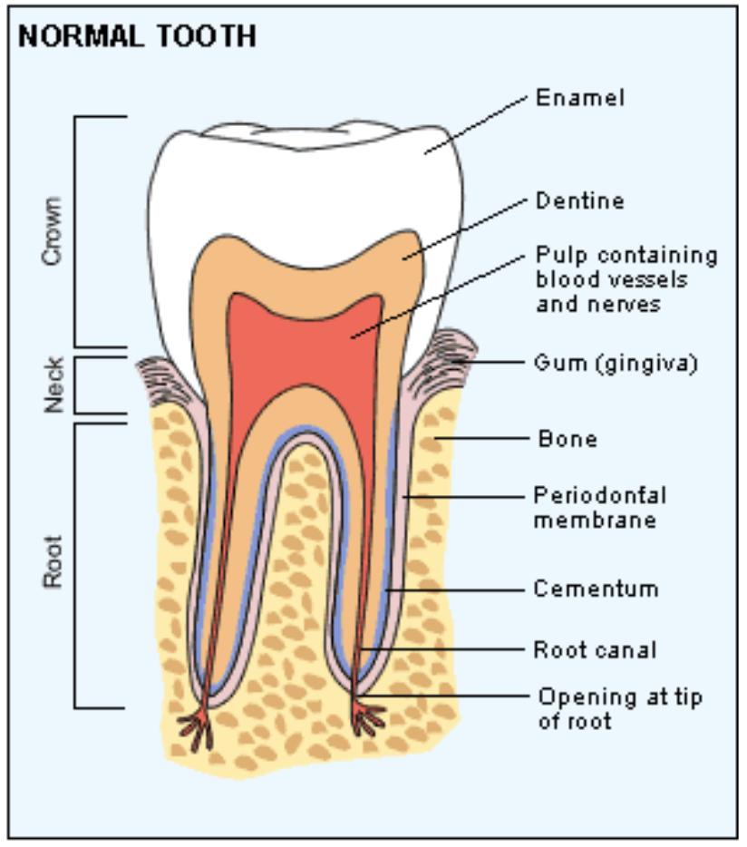 Figure 2: Anatomy of the tooth