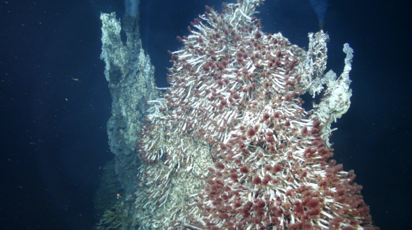 Figure 2. Shimmering water (top) is released from a deep-sea vent covered with tube worms (red) that form a symbiotic relationship with chemotrophic microbes to gain nutrients. Image courtesy B. Topçuoglu, Axial Seamount Expedition 2015.