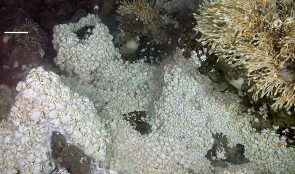 Figure 3. Tube worms and a swarm of Yeti crabs (Kiwa hirsuta) surrounding a deep-sea hydrothermal vent with shimmering water (blurry spots).