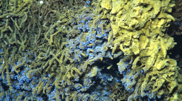 Blue protozoal mats cover the remains of dead tube worms (green) at an inactive hydrothermal vent. Image courtesy B. Topçuoglu, Axial Seamount Expedition 2015.