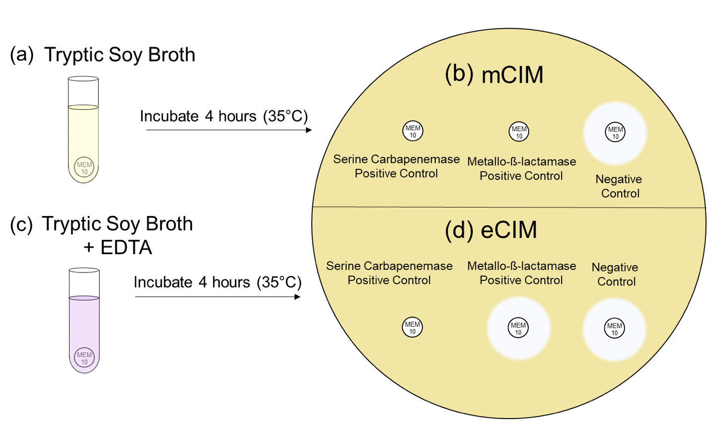 Figure 3. The mCIM and eCIM test.  In the mCIM assay, (a) Meropenem disks are incubated in tryptic soy broth with test organisms then (b) placed on a lawn of susceptible E. coli. Test organisms producing any type of carbapenemase destroy the meropenem and show no zone of inhibition. Those with no carbapenemase do not affect the meropenem and a zone of inhibition is evident.