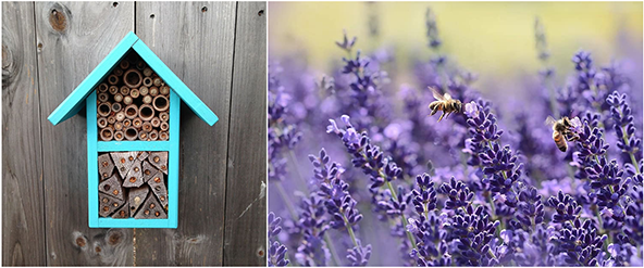 A bee hotel (left) is a very simple and easy way to support native solitary (non-hive forming) bee populations. Planting bee-friendly flowers (right, lavender) is another excellent way to provide for bees in your area.
