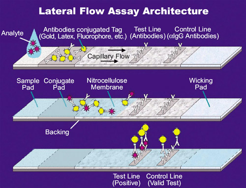 Illustration showing the basic principles of lateral flow assay technology, which applies to all of the new SARS-CoV-2 antigen tests.