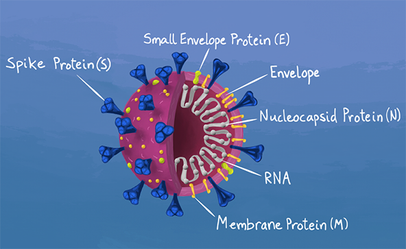 Illustration of the SARS-CoV-2 virus showing the nucleocapsid protein (N protein) inside, which is detected by the new antigen tests that have been granted emergency use authorization by the FDA.