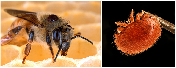 A Varroa mite clings to the back of a honeybee, feeding on the bee fat body (left). Varroa destructor, one of the deadliest threats to Western honey bees (right).