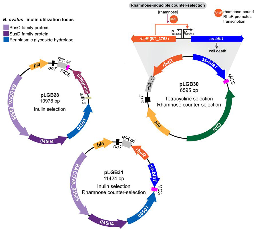 Inulin selection and rhamnose counter-selection plasmids.