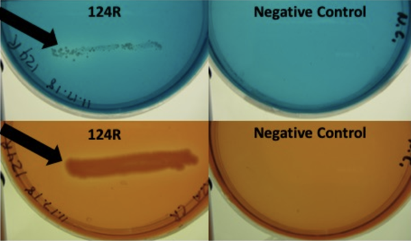 A zone of clearance (arrows) on malachite green (top) and Congo red (bottom) surrounds Serratia quinivorans 124R, which has lignolytic potential for both dyes. Photo courtesy G. Chaput.