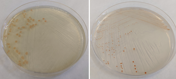 (Left) Shewanella oneidensis MR-1 colonies grown on LB agar. (Right) Geobacter sulfurreducens PCA colonies grown on minimal medium with acetate as the electron donor and fumarate as the electron acceptor. The salmon-pink color of Shewanella and red color of Geobacter species is due to large amounts of cytochromes produced by these bacteria.
