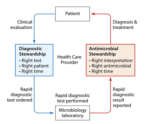 The cycle of antimicrobial stewardship.