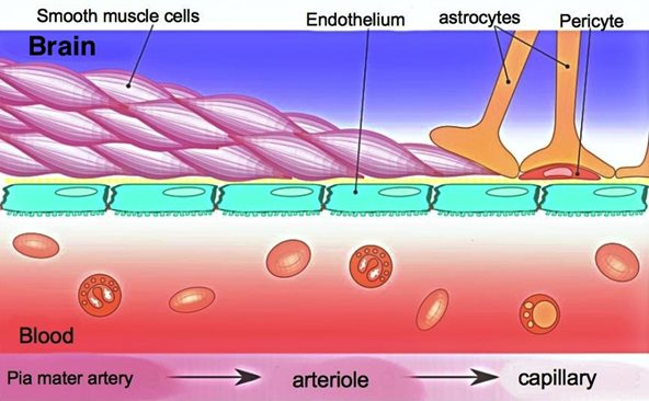 Diagram of a microvessel in the brain lined by the blood-brain barrier. The blood-brain barrier is a multicellular, compound structure composed of endothelial cells, pericytes and astrocytes in direct contact with brain tissue.