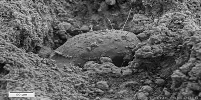 Figure 3. This particular cheese mite was camera shy for the scanning electron microscope, seen within a hole on the surface of a cheddar cheese rind