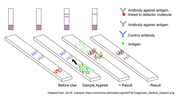 Diagram of a rapid antigen test. Sample is applied to the test strip and if antigen is present, it is bound by antibodies linked to detector molecules, as well as antibodies immobilized in the test line further down the strip.